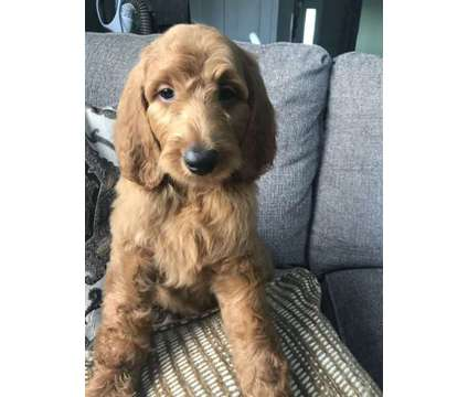 Goldendoodle F1B Males and females is a Female Goldendoodle Puppy For Sale in Spring Grove IL