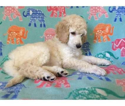 AKC Standard Poodle Female is a Female Standard Poodle Puppy For Sale in Concord NC