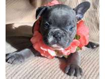 French Bulldog Puppies -Enjoyable Trained Litter
