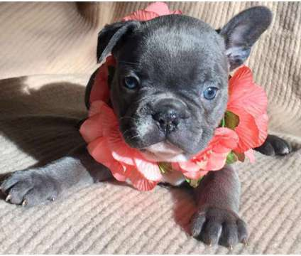 French Bulldog Puppies -Enjoyable Trained Litter is a Female, Male French Bulldog For Sale in Lewisburg TN