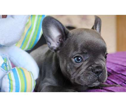 French Bulldog Puppies -Superb Trained Litter is a Female, Male French Bulldog For Sale in Spokane WA