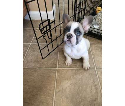 French Bulldog is a Male French Bulldog Puppy For Sale in Yuba City CA