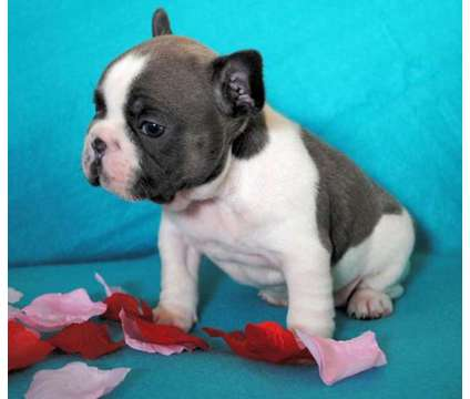 French Bulldog Puppies -Excellent Trained Litter is a Female, Male French Bulldog For Sale in Washington DC
