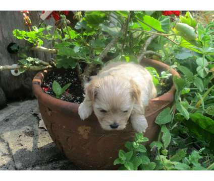 Maltipoo is a Male Malti-Poo Puppy For Sale in Plainwell MI