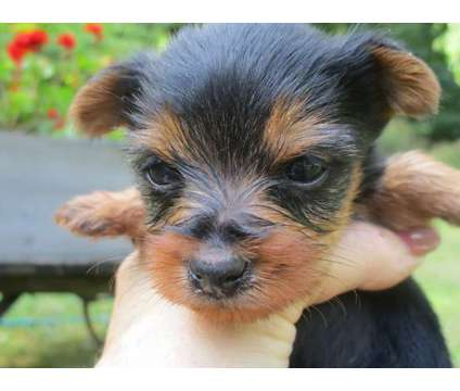 AKC Male Yorkie is a Male Yorkshire Terrier Puppy For Sale in Otsego MI