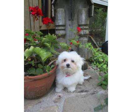 Maltese is a Male Maltese Puppy For Sale in Otsego MI