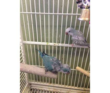 Breeding Pair of Quakers is a Blue Female Parakeet For Sale in Aurora IN