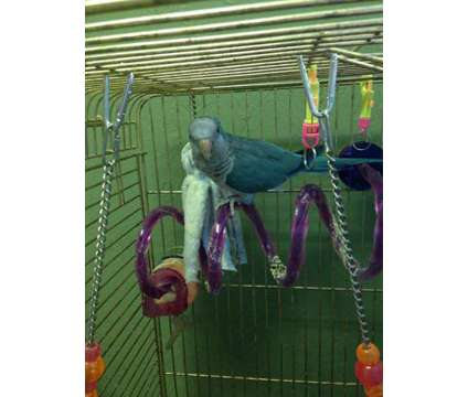 BLUE QUAKER, Male is a Blue Male Parakeet For Sale in Aurora IN