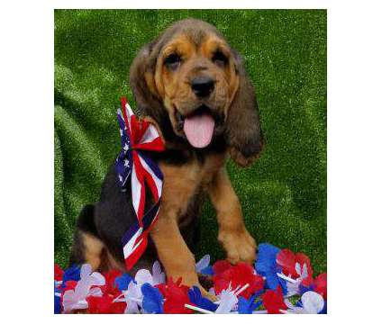 Ckc Bloodhound Puppies is a Female Bloodhound Puppy For Sale in Toccoa GA