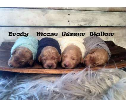 F1 Apricot Goldendoodles is a Male Goldendoodle Puppy For Sale in Demopolis AL