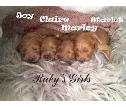 F1 Apricot Goldendoodle Females is a Female Goldendoodle Puppy For Sale in Demopolis AL