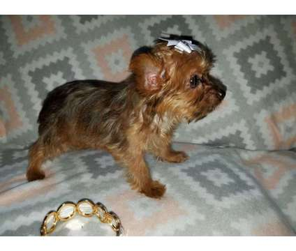 Teacup yorkie female pup is a Female Yorkshire Terrier Puppy For Sale in Philadelphia PA