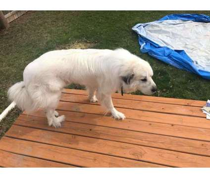 Great Pyrenees is a Male Great Pyrenees For Sale in Appleton WI