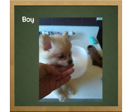 Pomeranian Puppies is a Female Pomeranian Puppy For Sale in Swanton OH