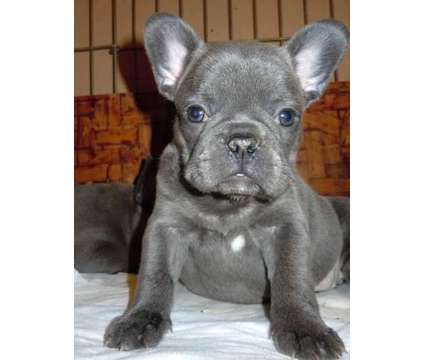 French Bulldog Puppies -Priceless Trained Litter is a Female French Bulldog For Sale in Hattiesburg MS