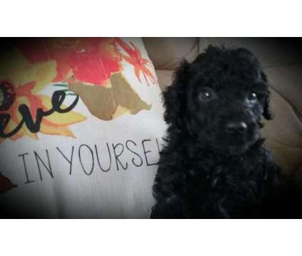 Moyen Poodle Puppies Emotional Support is a Male Poodle Puppy For Sale in Skowhegan ME
