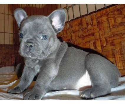 French Bulldog Puppies -Cheerful Trained Litter is a Female French Bulldog For Sale in Kansas City KS
