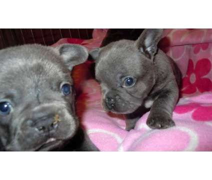 French Bulldog Puppies -Correct Trained Litter is a Female French Bulldog For Sale in Colorado Springs CO