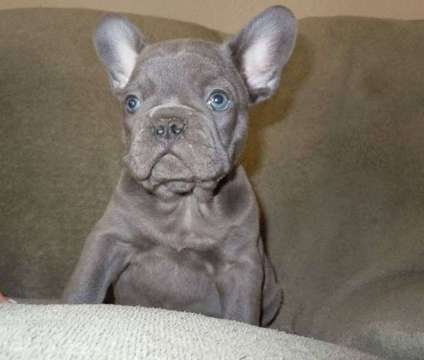 French Bulldog Puppies -Luminous Trained Litter is a Female French Bulldog For Sale in Huntersville NC