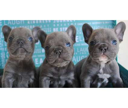 French Bulldog Puppies -Polite Trained Litter is a Female French Bulldog For Sale in Greensboro NC