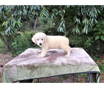 English Golden Retrievers is a Female Golden Retriever Puppy For Sale in Floral City FL