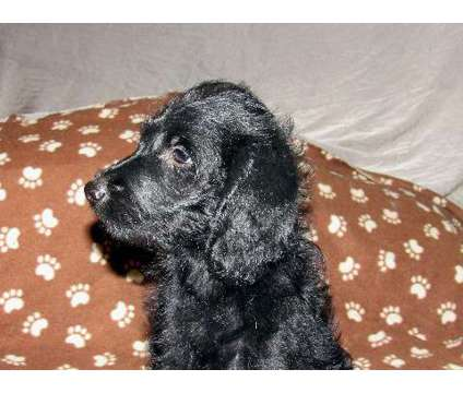 Peanut is a black & gray medium-size male lbradoodle is a Black, Grey Male For Sale in Burlington NC