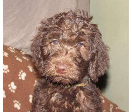 nickers is a chocolate/café standard size male labradoodle is a Male Labradoodle Puppy For Sale in Burlington NC