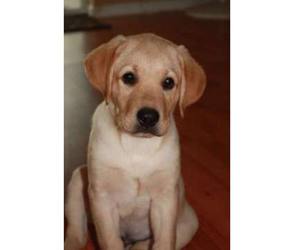 AKC Labrador puppies is a Male Labrador Retriever Puppy For Sale in Fort Myers FL