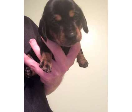 Miniature Dachshund is a Male Dachshund Puppy For Sale in New Bern NC