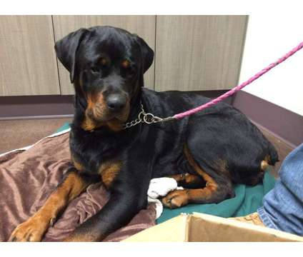 German Rottweiler Puppies is a Rottweiler Puppy For Sale in Hampton CT