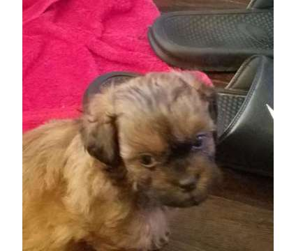 Male Shih Poo Puppy is a Male Shih-Poo Puppy For Sale in Baltimore MD