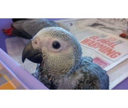 African Grey Baby Parrots is a Grey African Grey Parrot Baby For Sale in Blackwell CMA