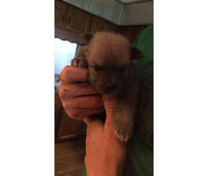 Pomeranian Puppies for Sale is a Female Pomeranian Puppy For Sale in Vincennes IN