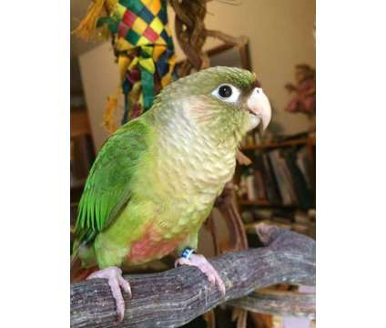 Cinamon Greencheek Conures is a Conure For Sale in Greenfield Center NY