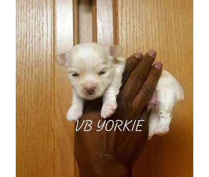 """Platinum Blonde Yorkie """" Male Puppy"""" is a Male Yorkshire Terrier Puppy For Sale in Austin TX"""