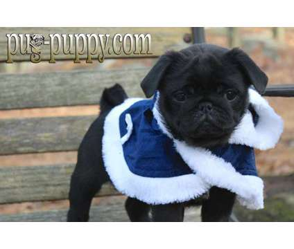 Black Female Pug Puppy is a Black Female Pug Puppy For Sale in Saugus MA
