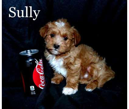 Sully Maltipoo male puppy for sale is a Male Malti-Poo Puppy For Sale in Saint Peter MN