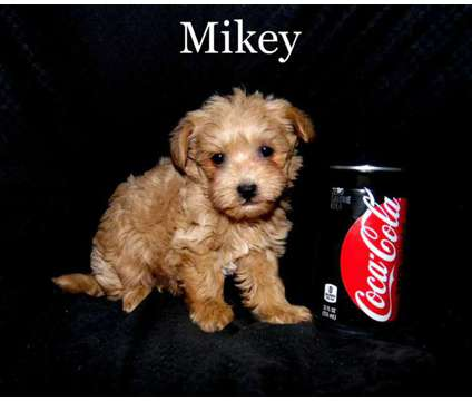 Mikey is a male maltipoo for sale is a Male Malti-Poo Puppy For Sale in Saint Peter MN