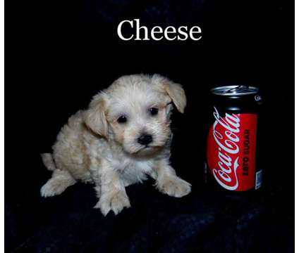 Cheese is a male maltipoo puppy for sale is a Male Malti-Poo Puppy For Sale in Saint Peter MN