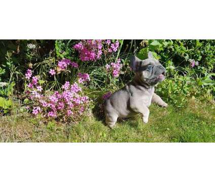 French Bulldog Puppies -Unparaleled Trained Litter is a Female French Bulldog For Sale in Huntington WV