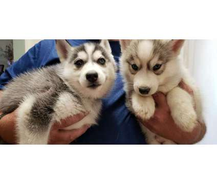 Siberian Husky Puppies is a Siberian Husky Puppy For Sale in Independence MO
