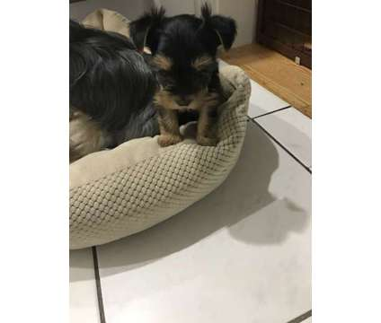 Female Yorkie Teacup Puppies is a Female Yorkshire Terrier Puppy For Sale in New York NY
