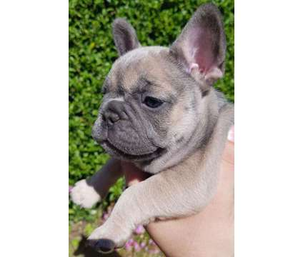 French Bulldog Puppies -Chunky Trained Litter is a Female French Bulldog For Sale in New Orleans LA