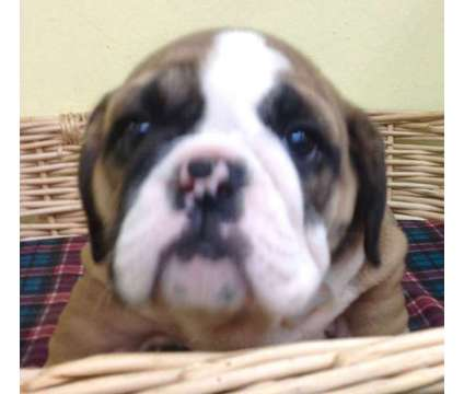 English Bulldog Puppy is a Male Bulldog Puppy For Sale in Denver CO