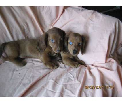 Small LH Dachshund puppies is a Female Dachshund For Sale in Portland OR