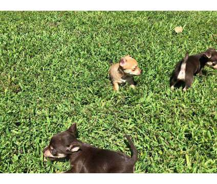 Chihuahua Puppies is a Female Chihuahua Puppy For Sale in Henry TN