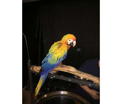 Camelot Macaw Baby is a Male Macaw Baby For Sale in Jacksonville FL