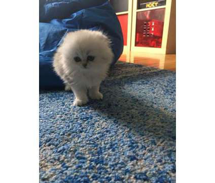 Scottish Fold Elite Kitten is a Female Scottish Fold Kitten For Sale in Wayne NJ