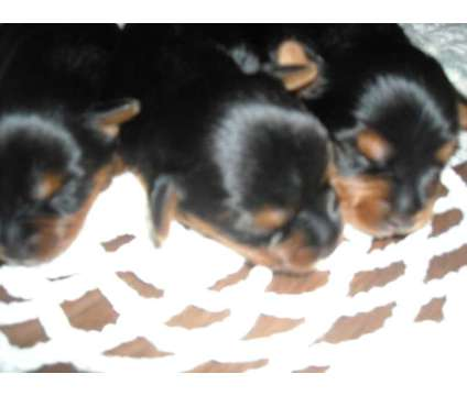 Ckc Yorkie Puppies Ready For Deposits Male Yorkshire Terrier Puppy