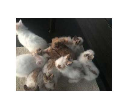 Lionhead Rabbits is a Baby For Sale in Taylor TX